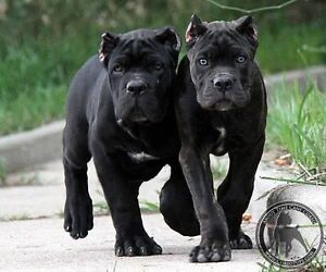 looking for a Cane Corso puppy