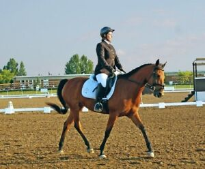 Well trained 2001 Morab mare