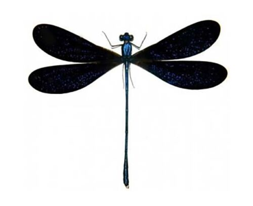 ONE BLUE BLACK DRAGONFLY DAMSELFLY VESTALIS LUCTUOSA MOUNTED PACKAGED INDONESIA