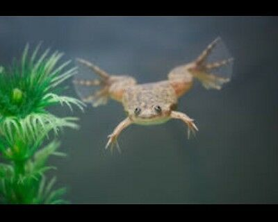 New       2 Live African Dwarf Aquatic Frogs