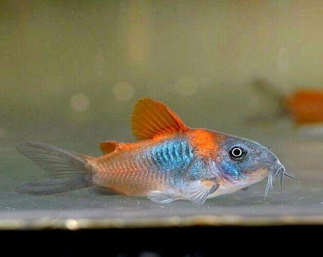 "Venezuelan Red Sailfin Cory Catfish (Corydoras aeneus""Venezuela"") Live Fish"