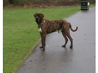 2 year old male asian mastiff for sale
