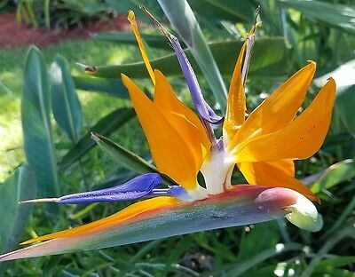 Bird of Paradise live 1-2 ft plant orange blue flower Strelitzia reginae