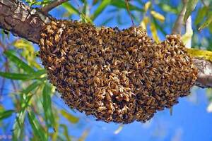 Free Bee Swarm Removal and Bee Rescue Service Brookfield Brisbane North West Preview