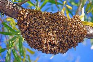 Bee swarm / colony removal Enfield Port Adelaide Area Preview