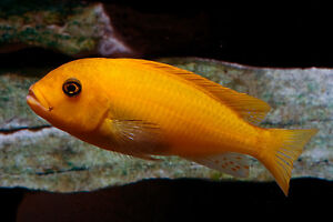Yellow1 and Red1 cichlid ( healthy)