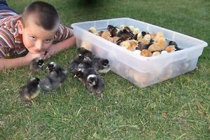Heritage chicks for sale - Ameraucana , Sussex ect