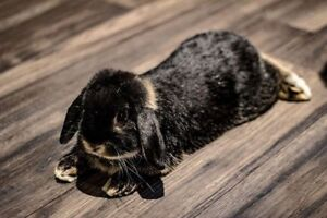 9 Month old Male Holland Lop Bunny