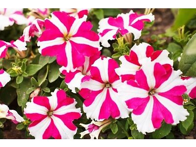Pink Petunia 80 seeds Petunia x hybrida fimbriata