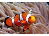 Marine common clown for tropical marine fish tank aquarium Leicester