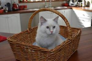 Purebred ragdoll kittens available to good homes Narre Warren South Casey Area Preview