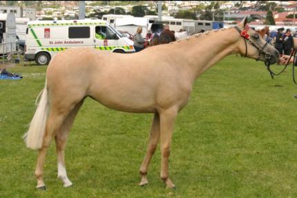 Riding Pony Mare