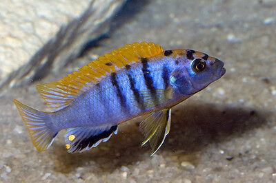 PAIR Labidochromis species Hongi Island 1.5 inch Mbuna African Cichlid