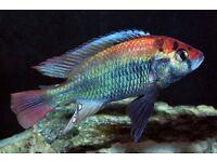 fish 4 x mixed malawi cichlids 2cm - 1 inch -- £10