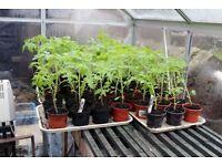 Tomato Plants: 3 varieties. Gardeners Delight, MoneyMaker and Marmande