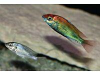 African Haplochromis Ruby Green Cichlid SET --3 inch. - 3 Fish