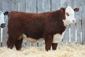 2 YR OLD HEREFORD BULL