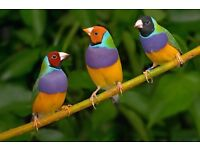 Gouldian and star finches for sale!
