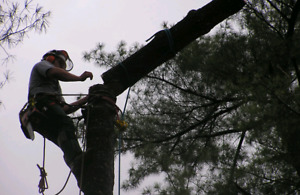 TREE SERVICE - Tree Removals, Pruning, Hedge Trimming