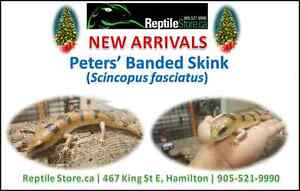 Available: Peters' Banded Skinks!!!!