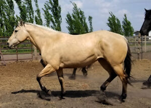 Dunskin AQHA mare with INCREDIBLE disposition