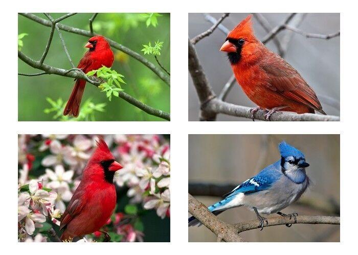 cardinal bird pictures