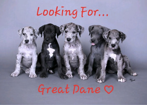 Looking for a Great Dane pup, Male.