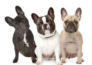 Looking for a French bulldog !!