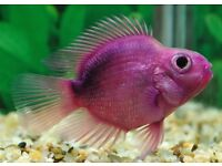 Parrot Fish for sale