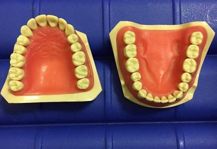 Columbia Dentiform Typodont MPVR 860 MQD