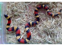 Beautiful Apricot Pueblan Milk Snake