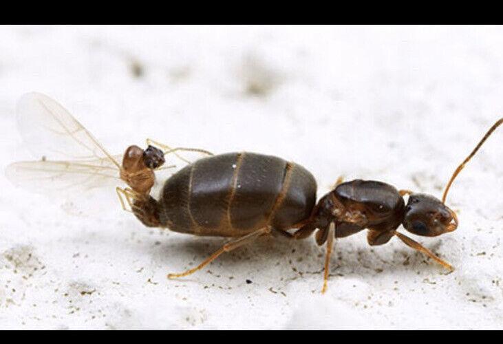 Brachymyrmex patigonicus queen - Rover ant - Ants-Ant Colony Starter - EASY