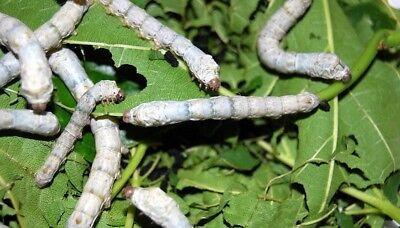50+ Silkworm Eggs - Standard White Worms
