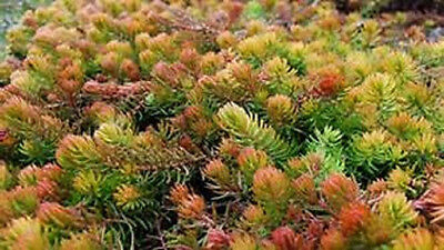 SEDUM 'ANGELINA'  GROUND COVER PLANTS WINTER ...