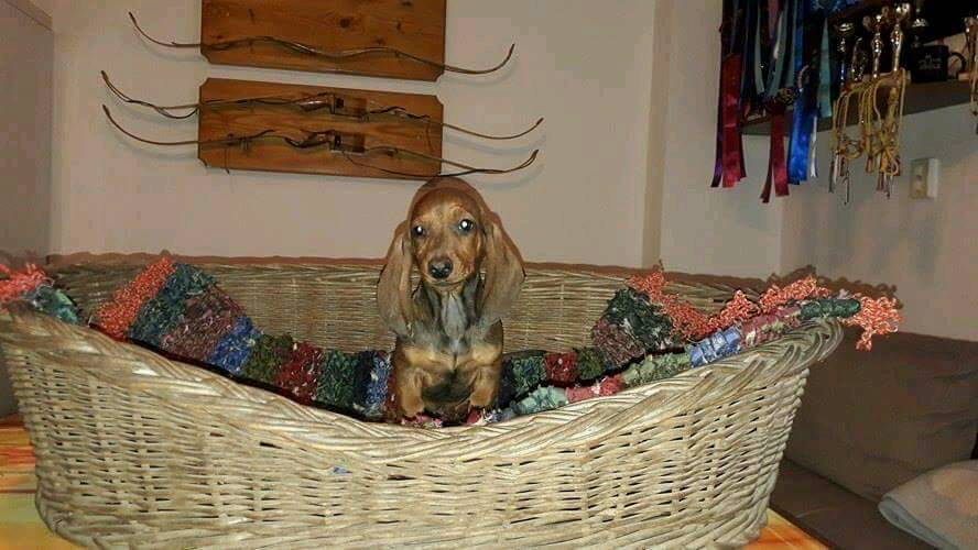 Pure bred miniature dachshund puppies for sale.