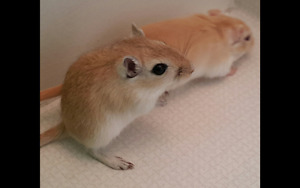 Baby gerbils for sale!