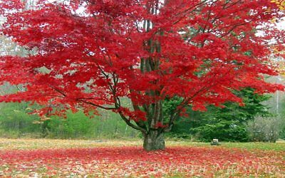 5 Red Maple Tree ROOTED SEEDLINGS Acer Rubrum (5 Free Plants) Lawn Garden