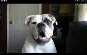 Looking to trade A pure old english bulldog pup for a vehicle
