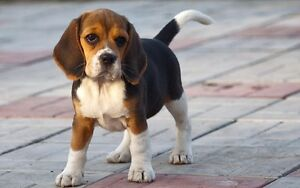 Looking for a beagle