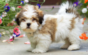 Looking for a Lhasa Apso pup