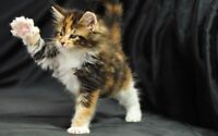 Looking for munchkin or Maine coon cat/kitten!!