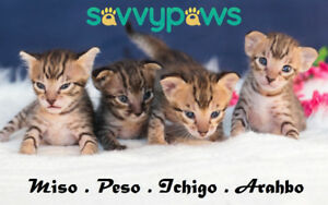 F6 Purebred Savannah Kittens Available