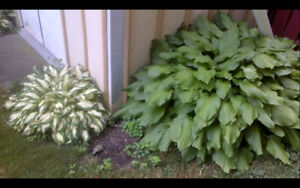 2 Hostas left - $5 for both plants