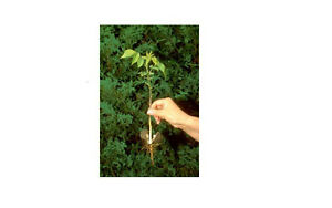 Trees for sale Kitchener / Waterloo Kitchener Area image 1