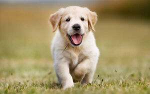 Looking for a Golden Retriever Puppy
