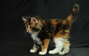 IM WANTING TO GET A CAT MID JUNE- AUGUST