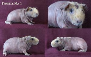 Femelle Cochon D'inde Skinny.