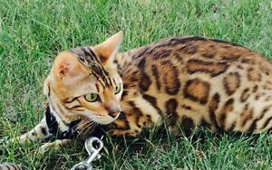 Glimmer Bengals, kittens avialable!!!