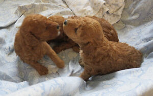 Purebred Toy Poodle Puppies Red and Apricot