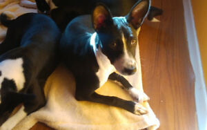 Female Basenji For Sale